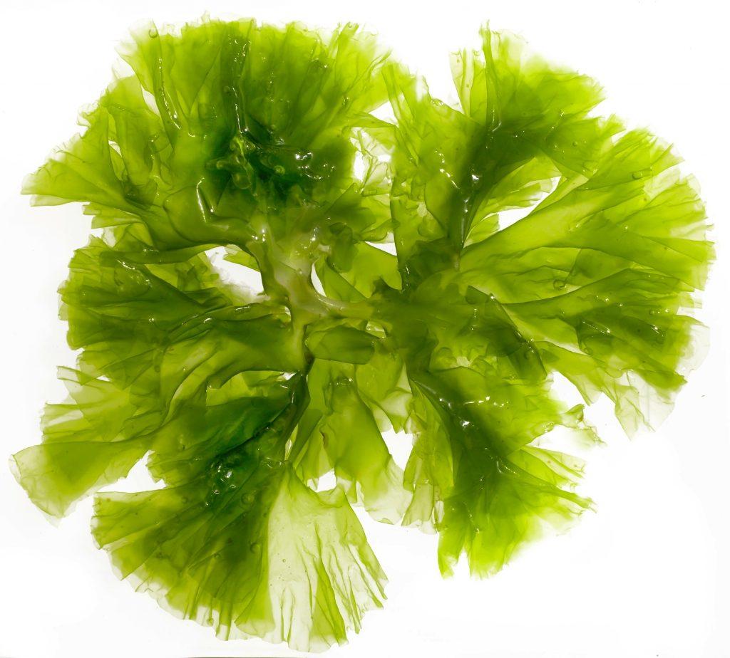 algue