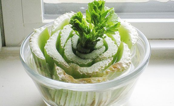legumes_repousser_celeri