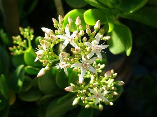 Superbe plante avec ses bourgeons.